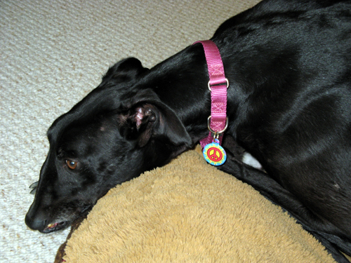 Colorful Peace Sign Dog Tag