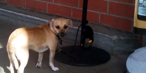 A little brown dog is tied to a post outside a grocery store.