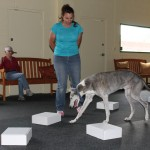 Eleven Year Old Greyhound at Nose Work Class