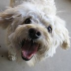 SmilingWhite Fluffy Dog